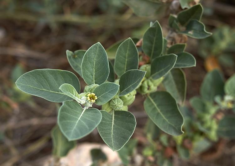 L'ashwagandha est une plante adaptogène ayurvédique.