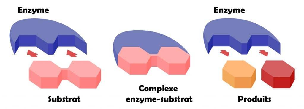 Mecanisme d'action des enzymes