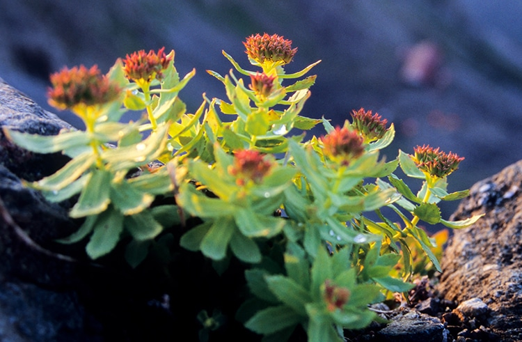 Rhodiola rosea, plante des climats extrêmes.